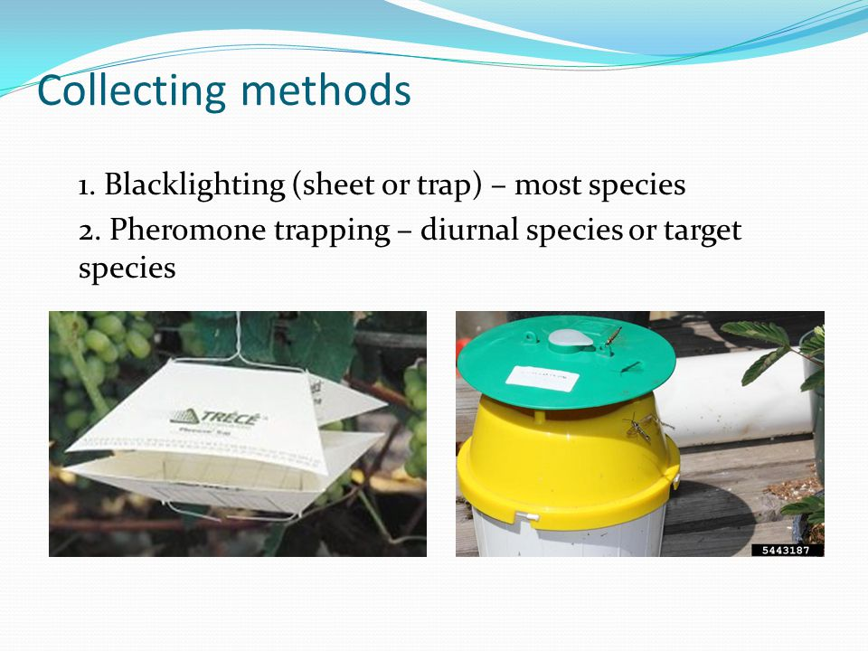 Collecting methods 1. Blacklighting (sheet or trap) – most species 2. Pheromone trapping – diurnal species or target species