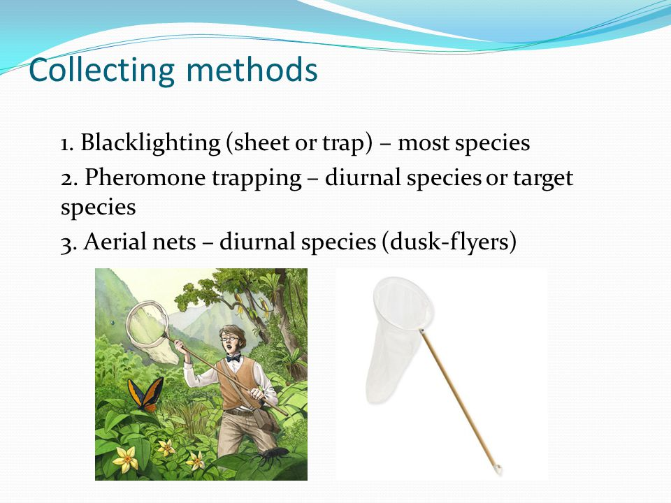 Collecting methods 1.Blacklighting (sheet or trap) – most species 2.