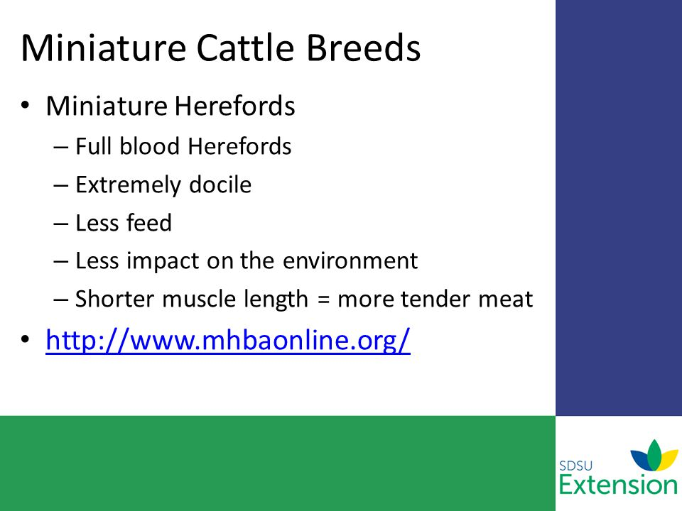 Miniature Cattle Breeds Miniature Herefords – Full blood Herefords – Extremely docile – Less feed – Less impact on the environment – Shorter muscle length = more tender meat http://www.mhbaonline.org/