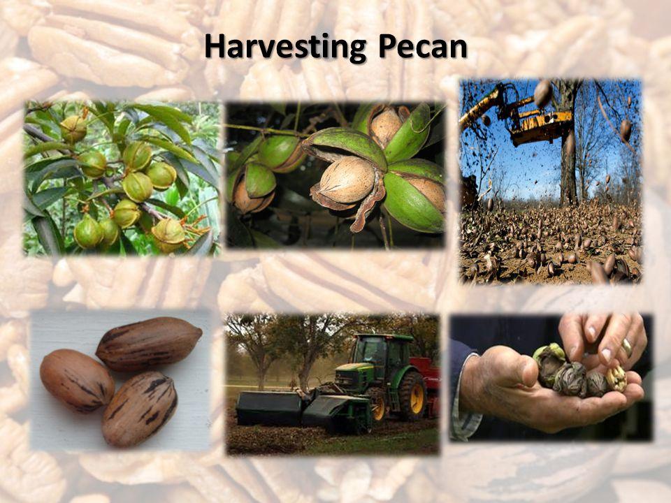 Harvesting Pecan