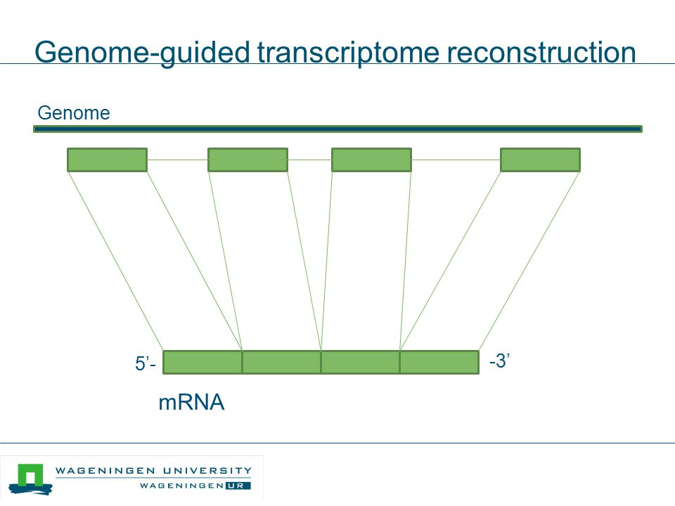 Genome-guided transcriptome reconstruction Genome 5'- -3' mRNA