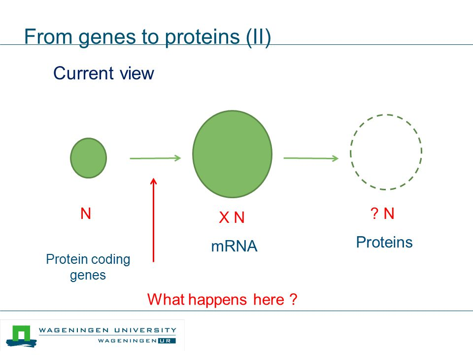 From genes to proteins (II) Current view N Protein coding genes ? N Proteins X N mRNA Molecules What happens here ?