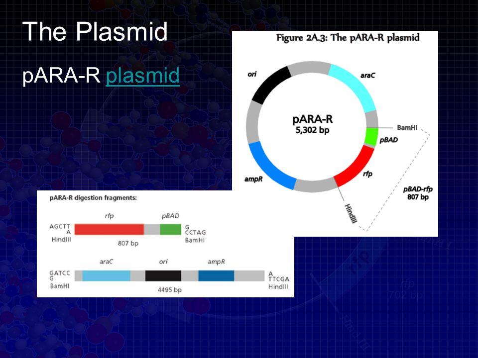 The Plasmid pARA-R plasmidplasmid