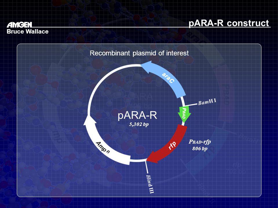 Recombinant plasmid of interest Bruce Wallace BamH I Hind III pARA-R 5,302 bp P BAD -rfp 806 bp pARA-R construct