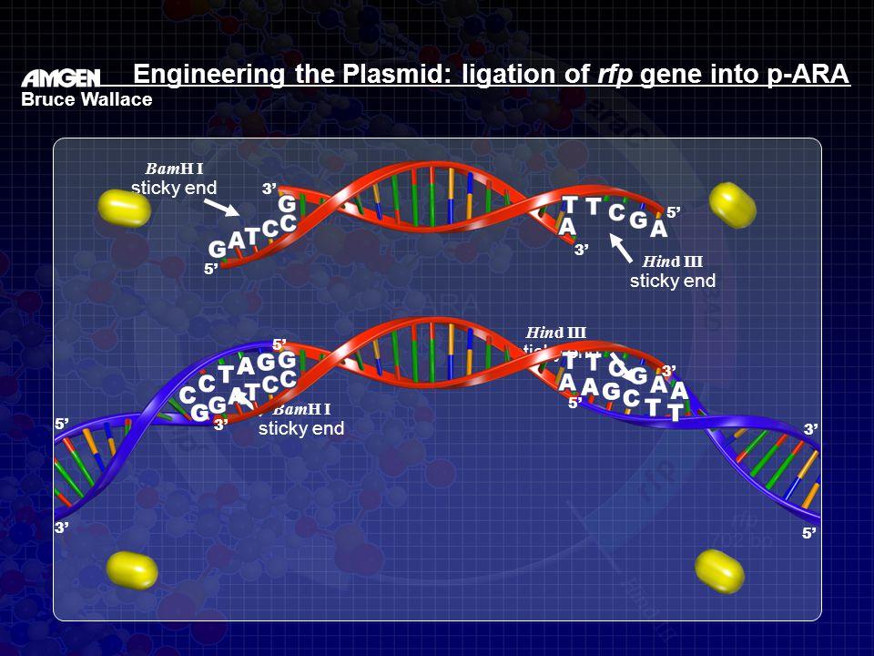 sticky end BamH I sticky end Hind III sticky end BamH I sticky end Hind III 3' 5' 3' 5' 3' Bruce Wallace Engineering the Plasmid: ligation of rfp gene into p-ARA