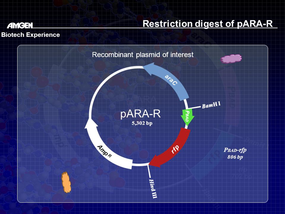 BamH I Hind III BamH I Hind III Restriction digest of pARA-R Recombinant plasmid of interest pARA-R 5,302 bp Biotech Experience P BAD -rfp 806 bp