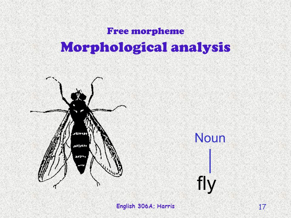 English 306A; Harris 17 Free morpheme Morphological analysis Noun fly