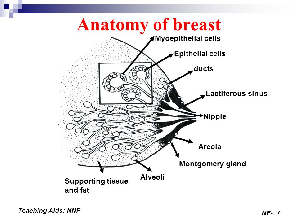 NF-7 Teaching Aids: NNF Anatomy of breast Myoepithelial cells Epithelial cells ducts Lactiferous sinus Areola Montgomery gland Alveoli Supporting tissue and fat Nipple