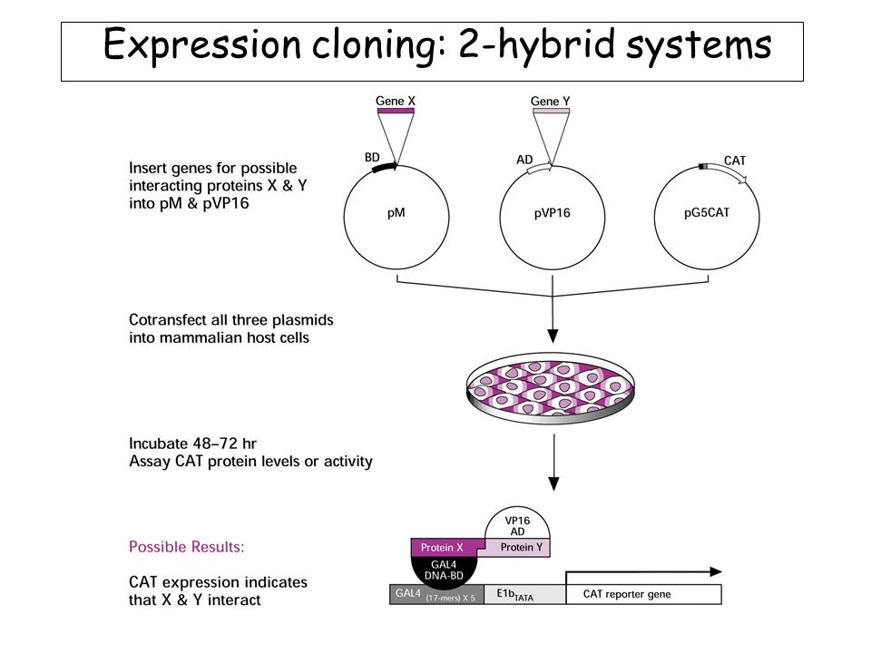 Expression cloning: 2-hybrid systems