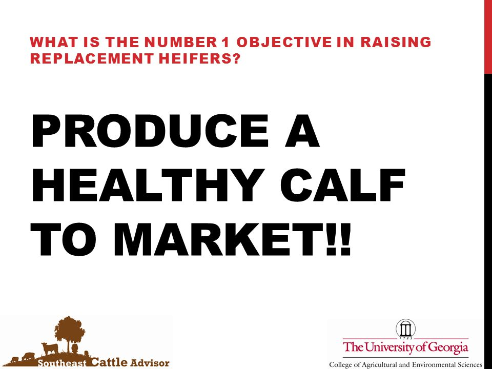 PRODUCE A HEALTHY CALF TO MARKET!! WHAT IS THE NUMBER 1 OBJECTIVE IN RAISING REPLACEMENT HEIFERS?