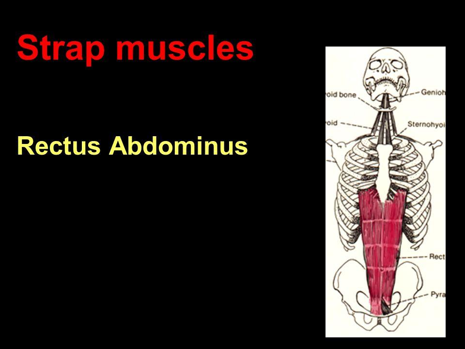 Strap muscles Rectus Abdominus