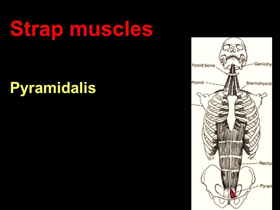 Strap muscles Pyramidalis