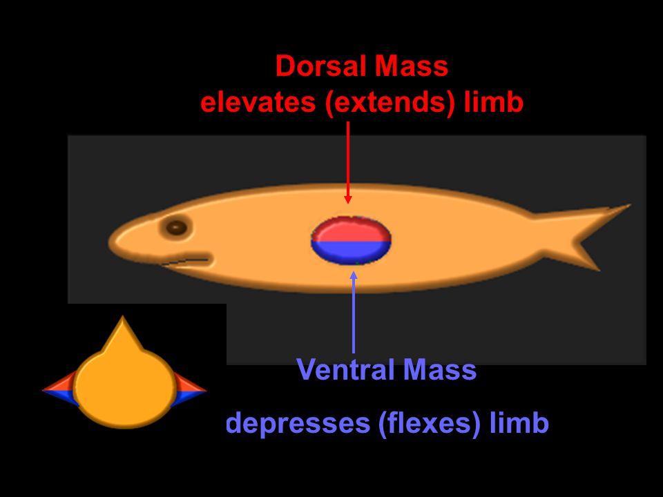 Dorsal Mass elevates (extends) limb Ventral Mass depresses (flexes) limb