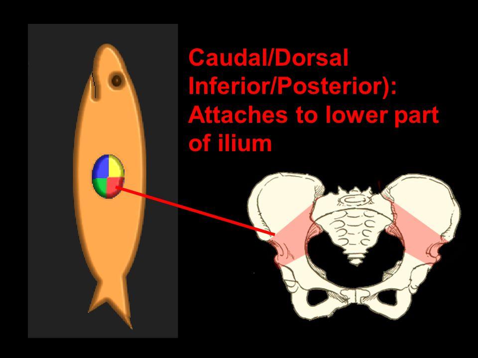 Caudal/Dorsal Inferior/Posterior): Attaches to lower part of ilium