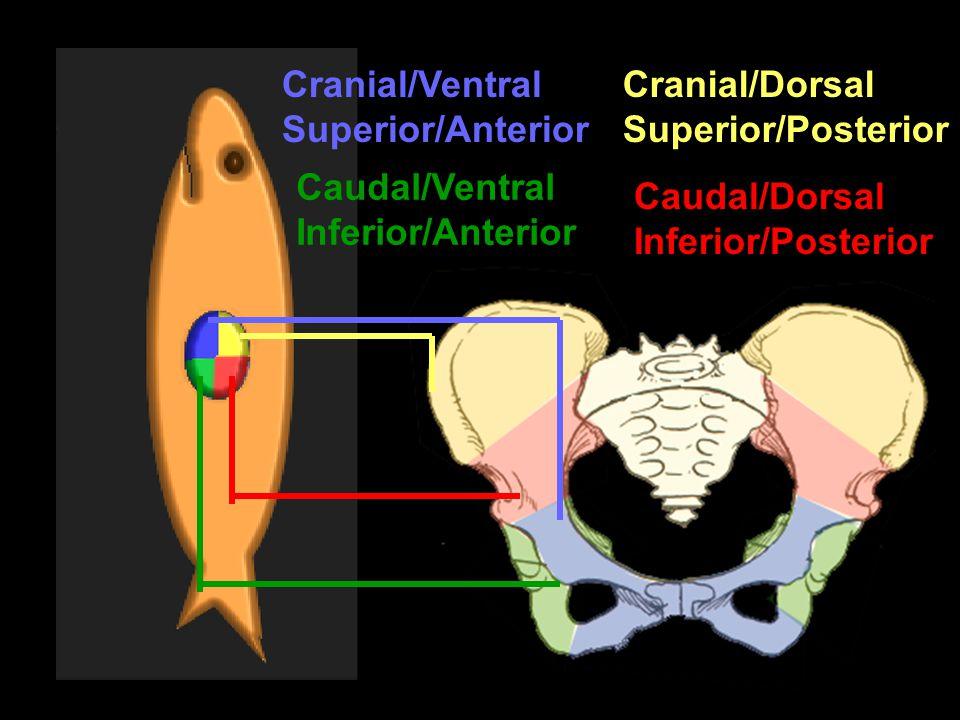 Caudal/Dorsal Inferior/Posterior Cranial/Dorsal Superior/Posterior Caudal/Ventral Inferior/Anterior Cranial/Ventral Superior/Anterior