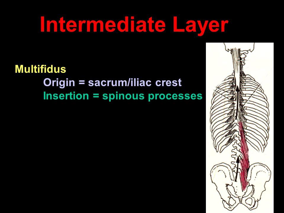 Intermediate Layer Multifidus Origin = sacrum/iliac crest Insertion = spinous processes