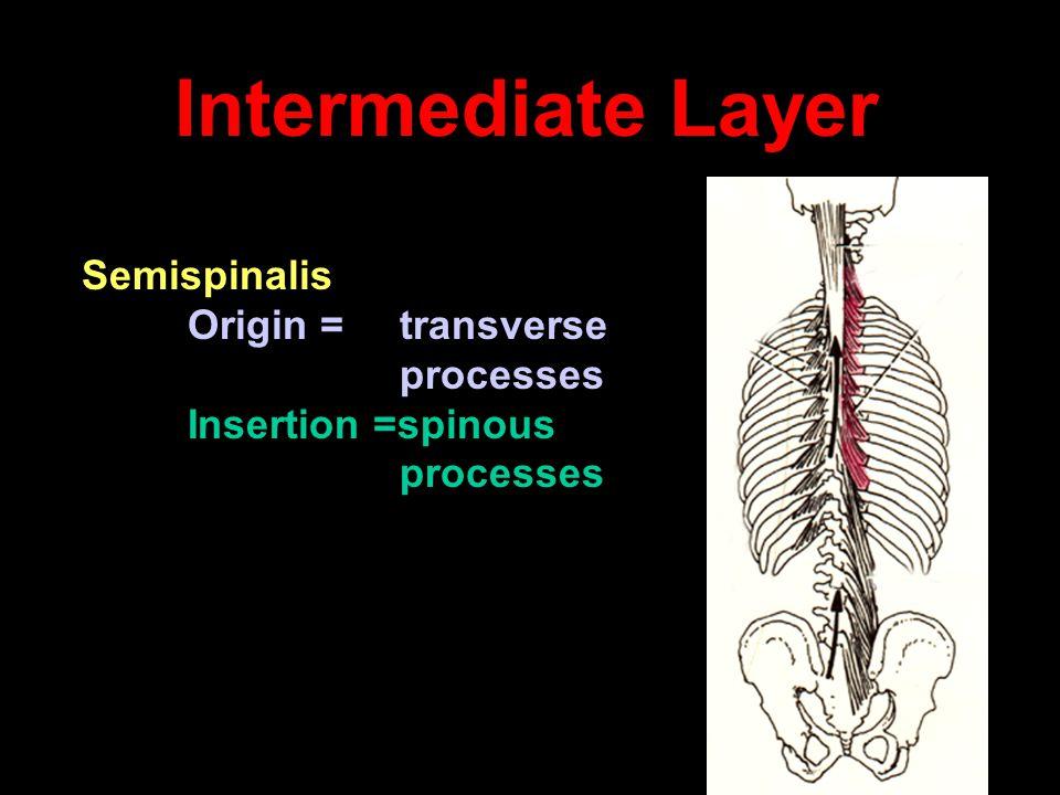 Intermediate Layer Semispinalis Origin = transverse processes Insertion =spinous processes