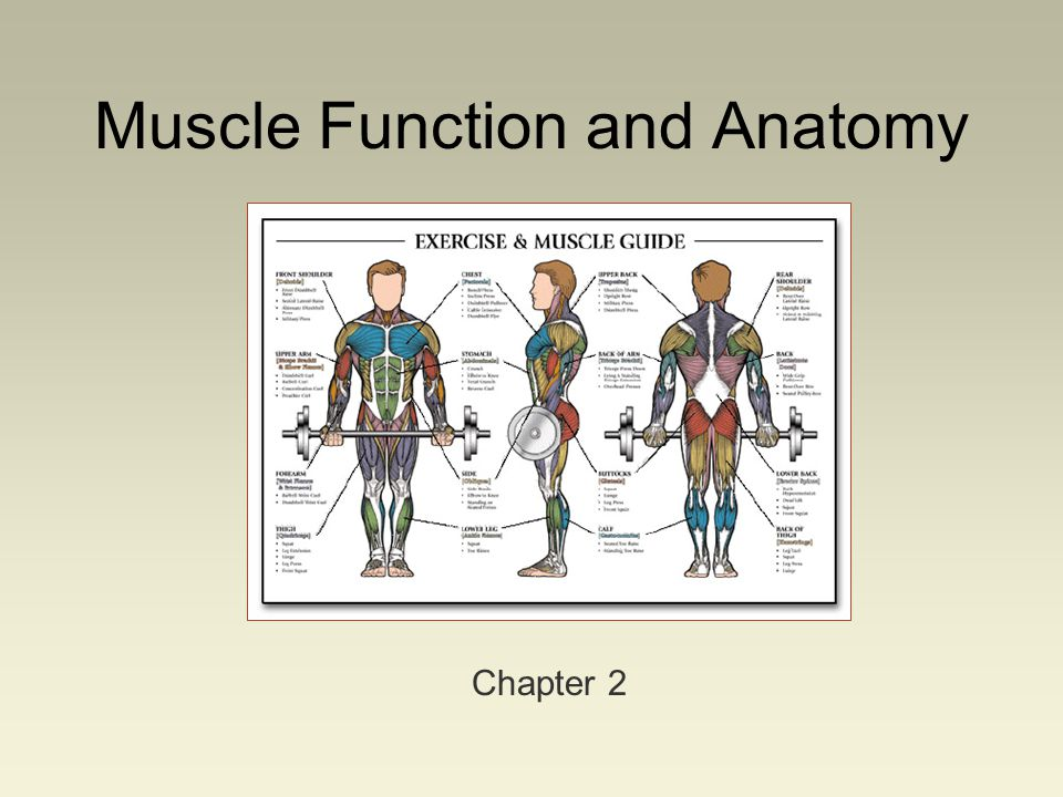 Muscle Function and Anatomy Chapter 2