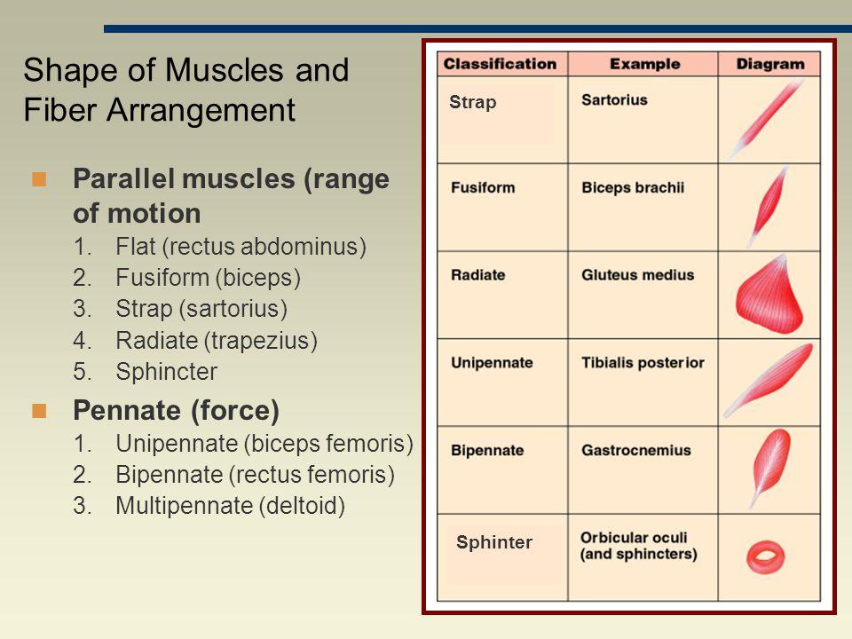 Parallel muscles (range of motion 1.Flat (rectus abdominus) 2.Fusiform (biceps) 3.Strap (sartorius) 4.Radiate (trapezius) 5.Sphincter Pennate (force) 1.Unipennate (biceps femoris) 2.Bipennate (rectus femoris) 3.Multipennate (deltoid) Shape of Muscles and Fiber Arrangement Strap Sphinter