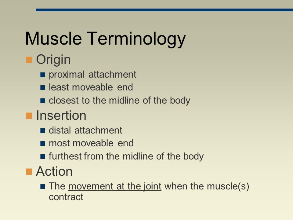 Muscle Terminology Origin proximal attachment least moveable end closest to the midline of the body Insertion distal attachment most moveable end furt