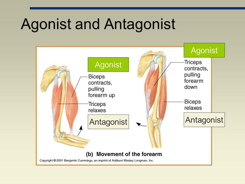 Agonist and Antagonist Antagonist Agonist Antagonist