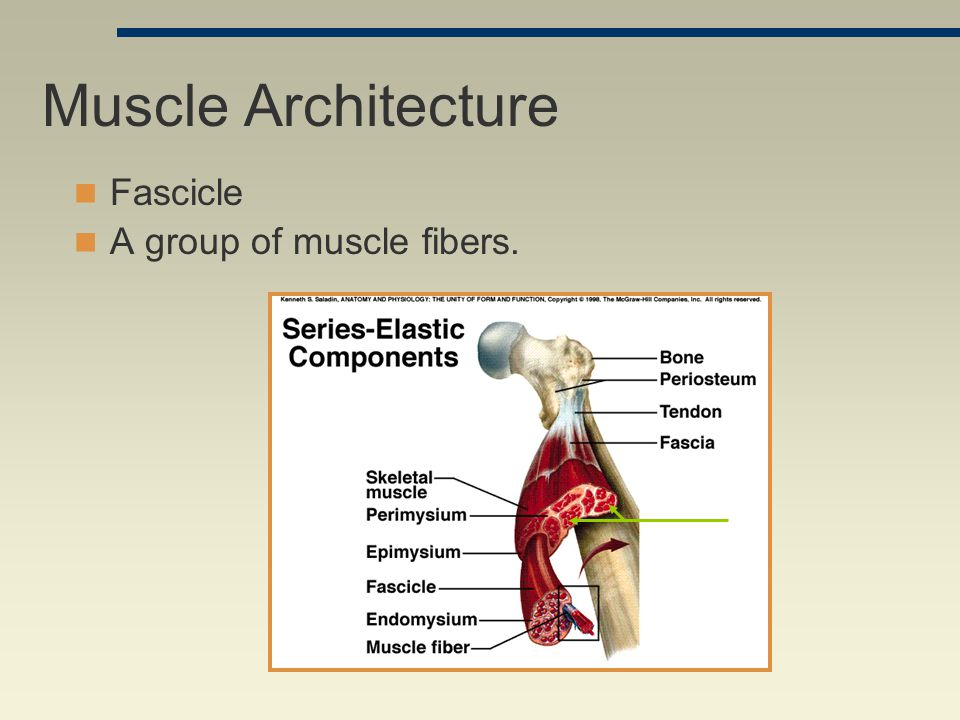 Muscle Architecture Fascicle A group of muscle fibers.