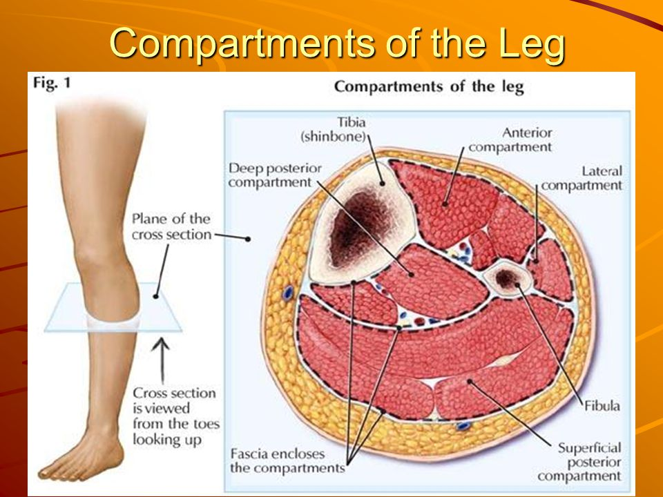 33 Compartments of the Leg