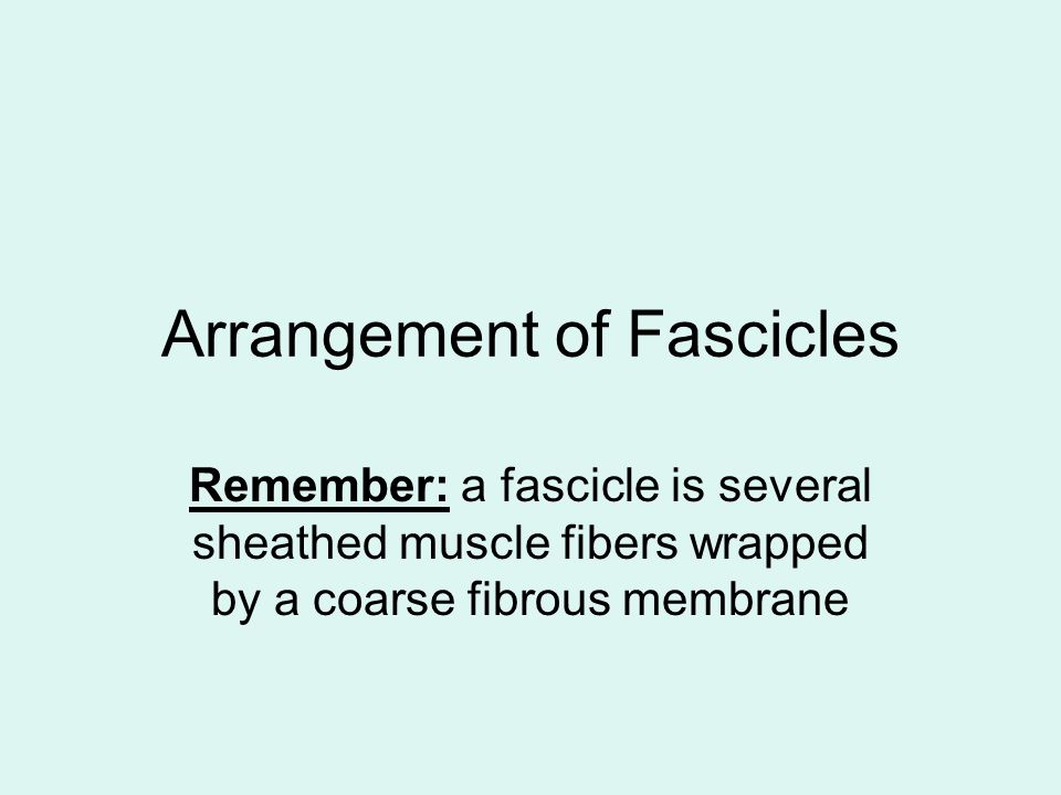 Arrangement of Fascicles Remember: a fascicle is several sheathed muscle fibers wrapped by a coarse fibrous membrane