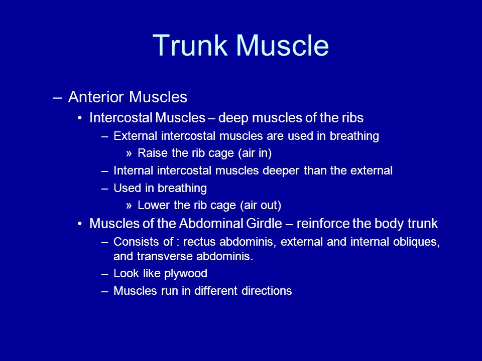 Trunk Muscle –Anterior Muscles Intercostal Muscles – deep muscles of the ribs –External intercostal muscles are used in breathing »Raise the rib cage
