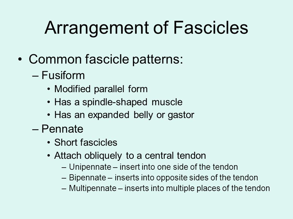 Arrangement of Fascicles Common fascicle patterns: –Fusiform Modified parallel form Has a spindle-shaped muscle Has an expanded belly or gastor –Penna