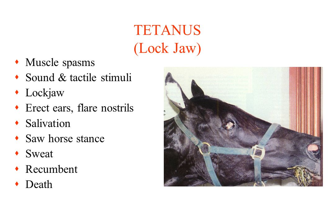 TETANUS (Lock Jaw) sMuscle spasms sSound & tactile stimuli sLockjaw sErect ears, flare nostrils sSalivation sSaw horse stance sSweat sRecumbent sDeath