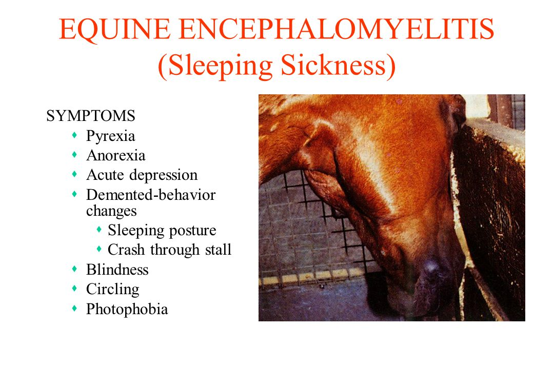 EQUINE ENCEPHALOMYELITIS (Sleeping Sickness) SYMPTOMS sPyrexia sAnorexia sAcute depression sDemented-behavior changes sSleeping posture sCrash through stall sBlindness sCircling sPhotophobia