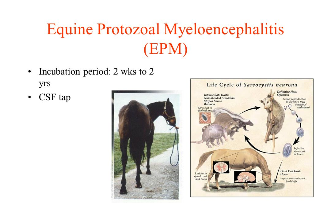 Equine Protozoal Myeloencephalitis (EPM) Incubation period: 2 wks to 2 yrs CSF tap