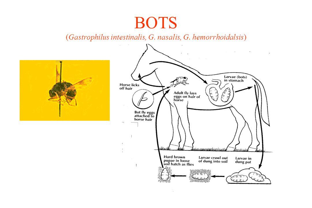 BOTS (Gastrophilus intestinalis, G. nasalis, G. hemorrhoidalsis)