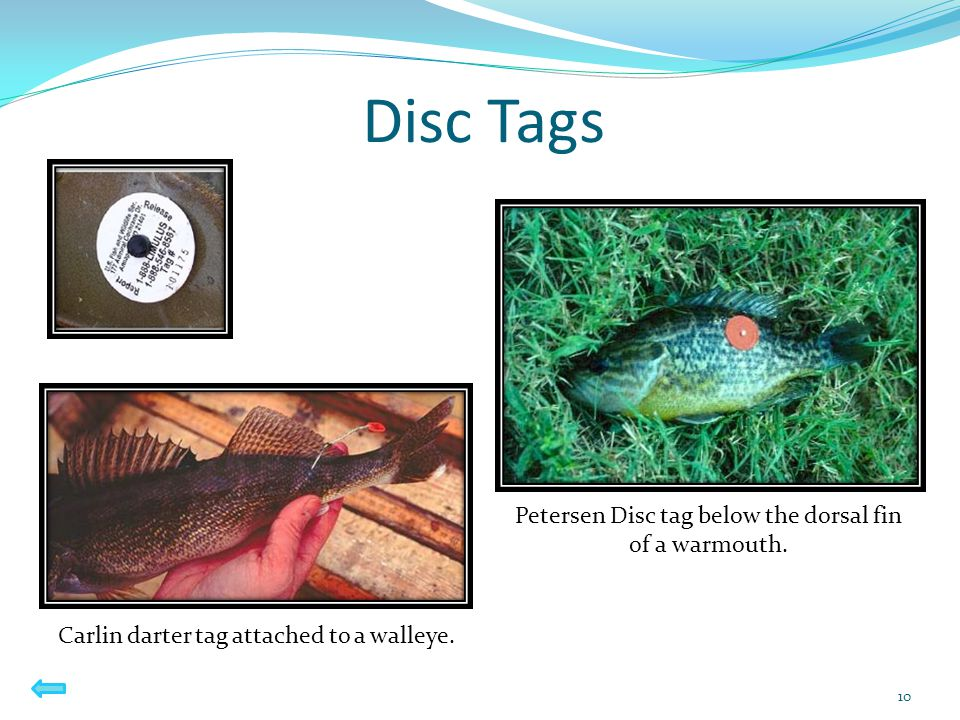 Disc Tags 10 Petersen Disc tag below the dorsal fin of a warmouth. Carlin darter tag attached to a walleye.