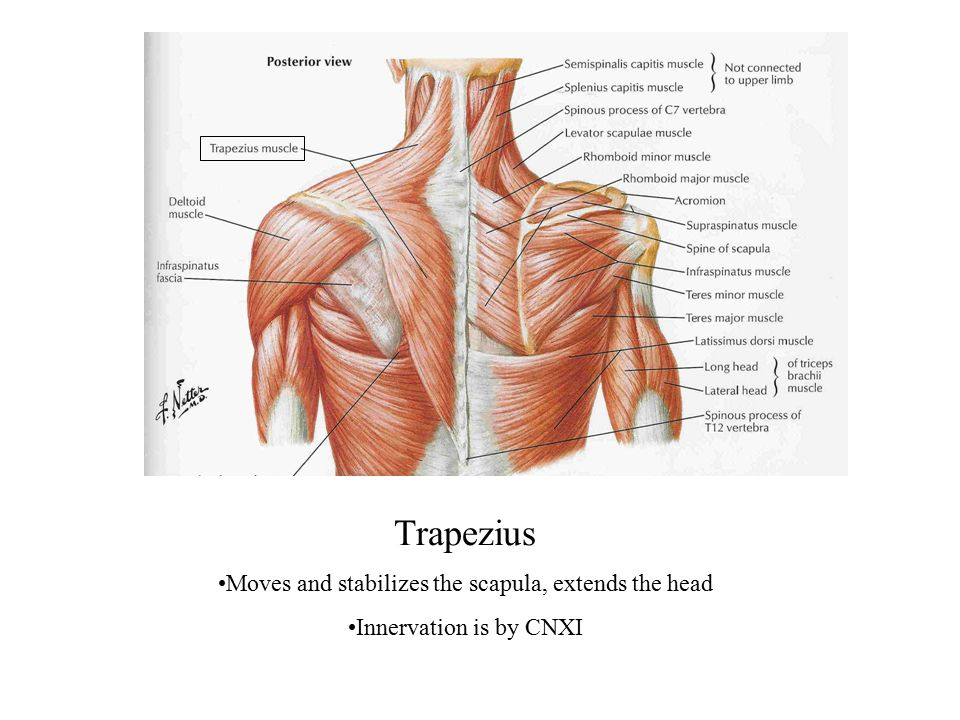 Trapezius Moves and stabilizes the scapula, extends the head Innervation is by CNXI