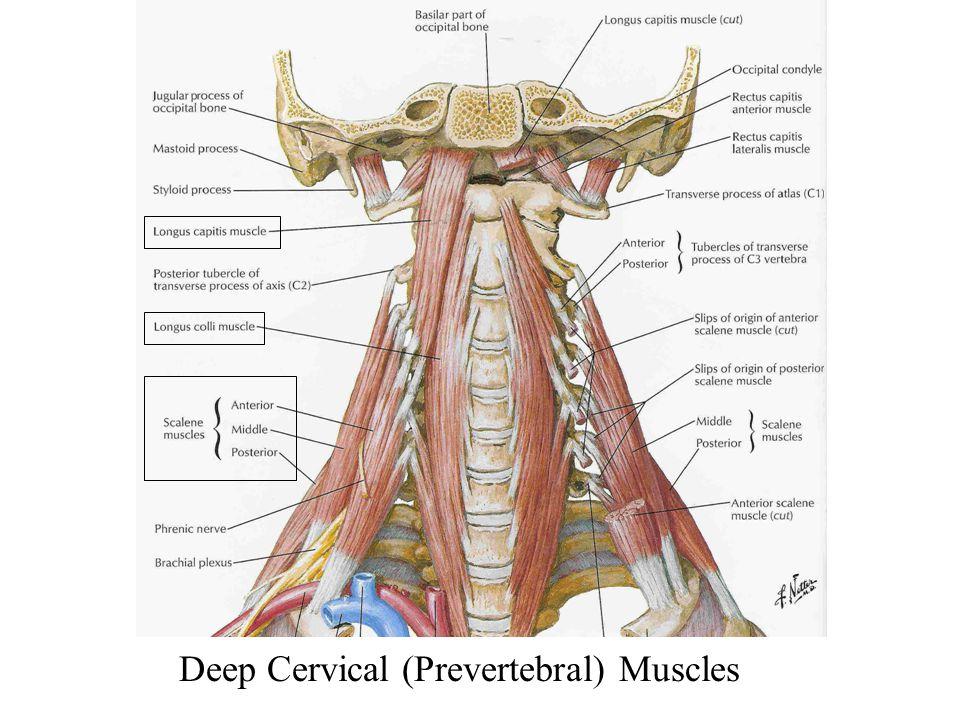 Deep Cervical (Prevertebral) Muscles