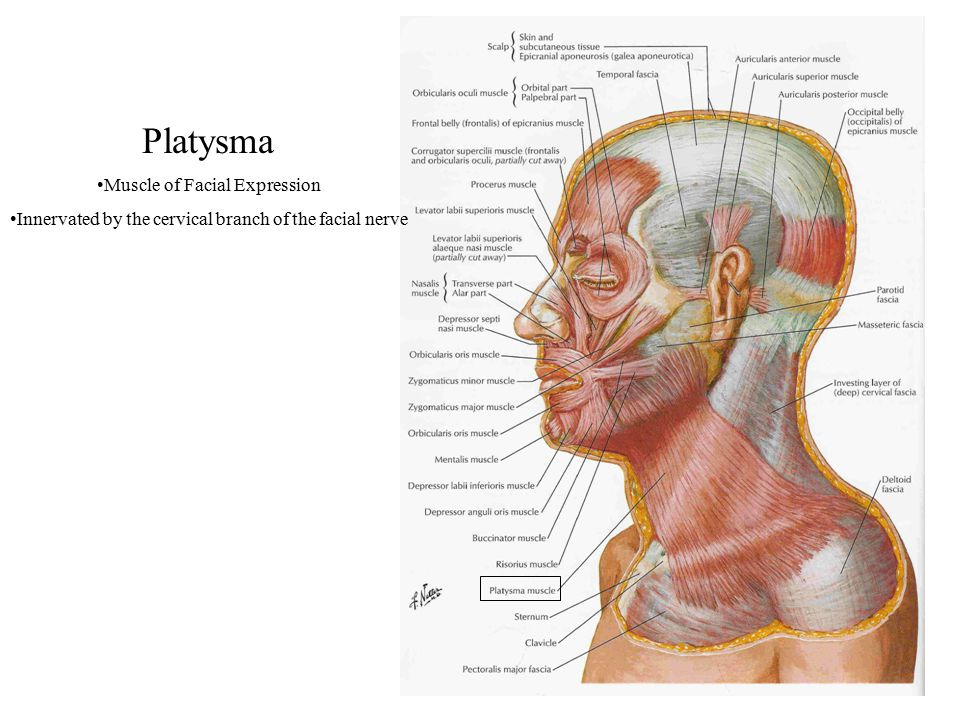 Platysma Muscle of Facial Expression Innervated by the cervical branch of the facial nerve