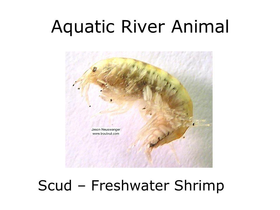 Aquatic River Animal Scud – Freshwater Shrimp