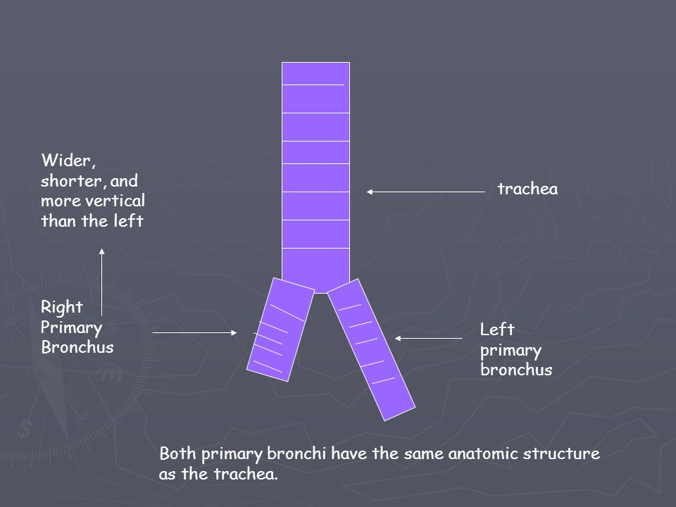 trachea Left primary bronchus Right Primary Bronchus Wider, shorter, and more vertical than the left Both primary bronchi have the same anatomic structure as the trachea.