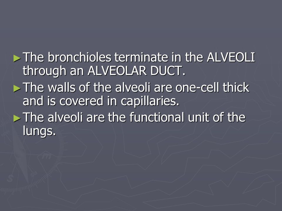 ► The bronchioles terminate in the ALVEOLI through an ALVEOLAR DUCT.