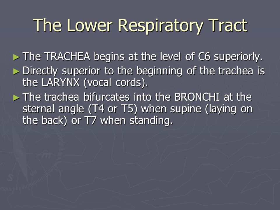 The Lower Respiratory Tract ► The TRACHEA begins at the level of C6 superiorly.