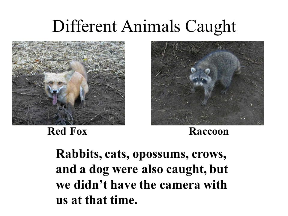 Different Animals Caught Red FoxRaccoon Rabbits, cats, opossums, crows, and a dog were also caught, but we didn't have the camera with us at that time.