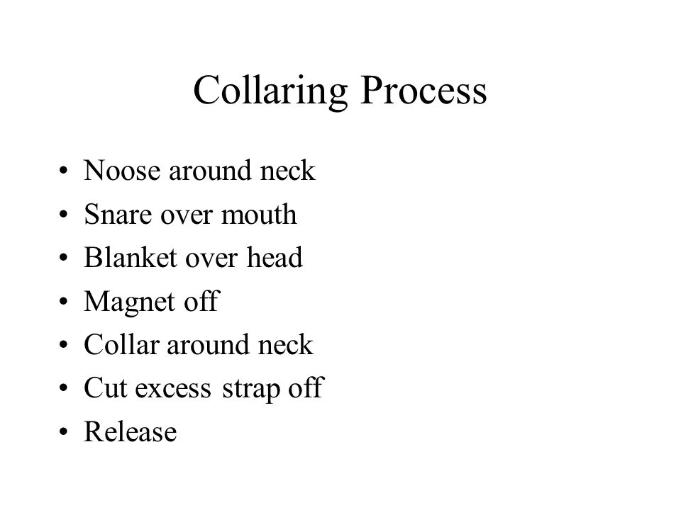 Collaring Process Noose around neck Snare over mouth Blanket over head Magnet off Collar around neck Cut excess strap off Release