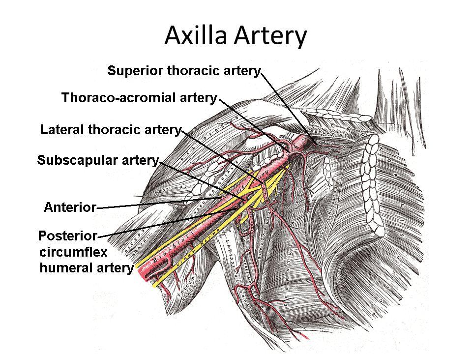Axilla Artery