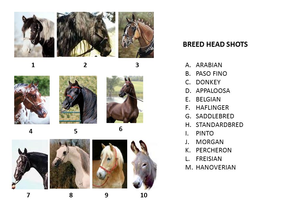 123 45 6 789 BREED HEAD SHOTS A.ARABIAN B.PASO FINO C.DONKEY D.APPALOOSA E.BELGIAN F.HAFLINGER G.SADDLEBRED H.STANDARDBRED I.PINTO J.MORGAN K.PERCHERON L.FREISIAN M.HANOVERIAN