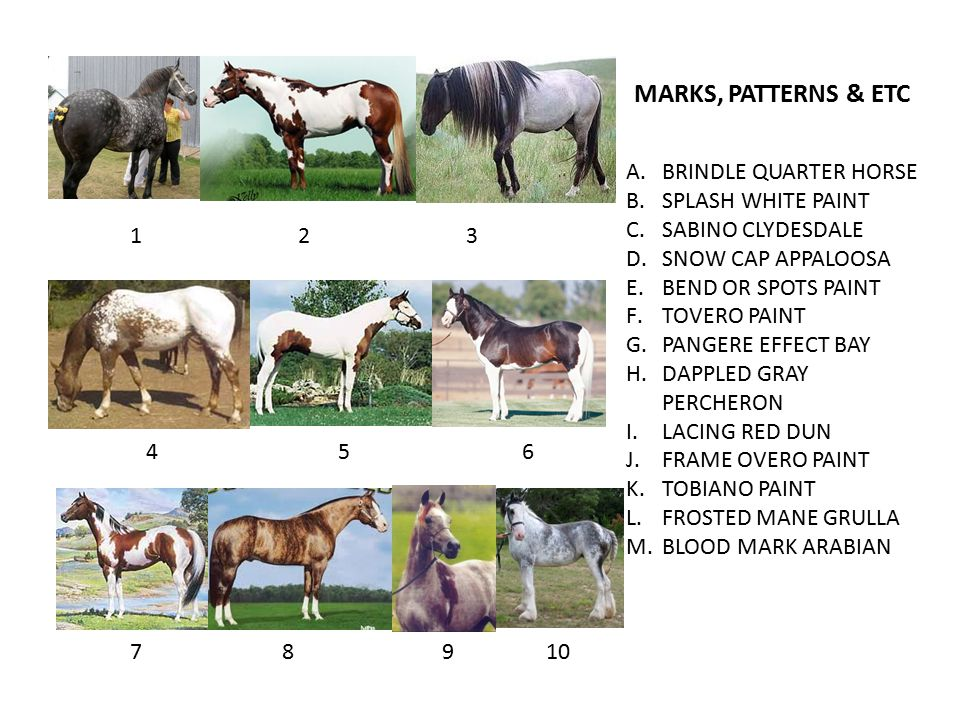 A.BRINDLE QUARTER HORSE B.SPLASH WHITE PAINT C.SABINO CLYDESDALE D.SNOW CAP APPALOOSA E.BEND OR SPOTS PAINT F.TOVERO PAINT G.PANGERE EFFECT BAY H.DAPPLED GRAY PERCHERON I.LACING RED DUN J.FRAME OVERO PAINT K.TOBIANO PAINT L.FROSTED MANE GRULLA M.BLOOD MARK ARABIAN MARKS, PATTERNS & ETC 123 456 78910