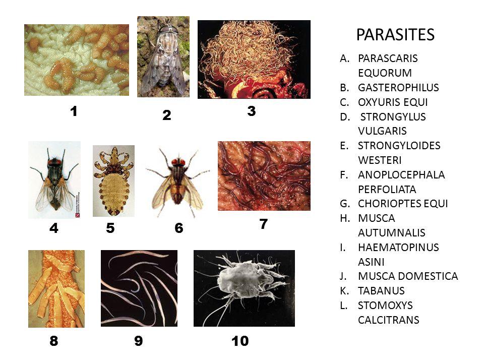 PARASITES A.PARASCARIS EQUORUM B.GASTEROPHILUS C.OXYURIS EQUI D.
