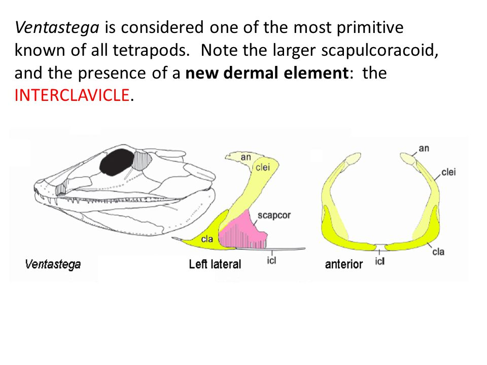 Ventastega is considered one of the most primitive known of all tetrapods. Note the larger scapulcoracoid, and the presence of a new dermal element: t