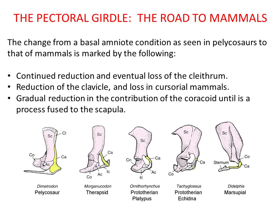 THE PECTORAL GIRDLE: THE ROAD TO MAMMALS The change from a basal amniote condition as seen in pelycosaurs to that of mammals is marked by the followin